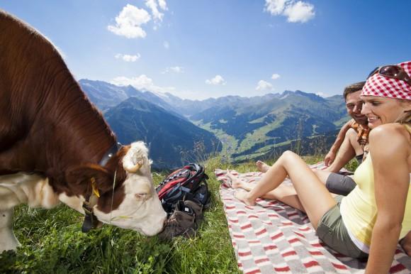 Besuch auf der Wandertour: Eine Kuh schaut vorbei ... Foto: Tux Finkenberg.