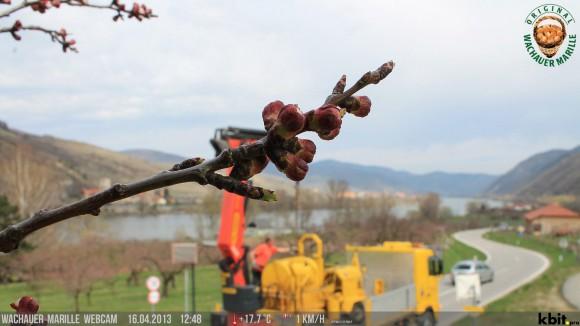 Vorfreude auf die Blütezeit in der Wachau. Foto vom 16. April: donau.com
