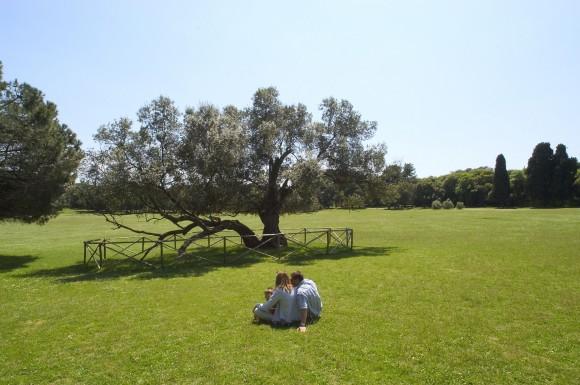 Historischer Olivenbaum. Foto: ART / Petr Blaha
