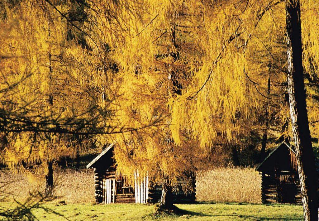 """""""Die Lärchen brennen"""" - so sagt man, wenn sich die Nadeln der majestätischen Bäume im Herbst verfärben. Foto: Innsbruck Tourismus"""