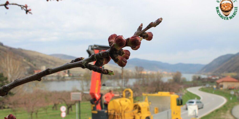 Gespanntes Warten via Webcam: Blütezeit der Wachauer Marille