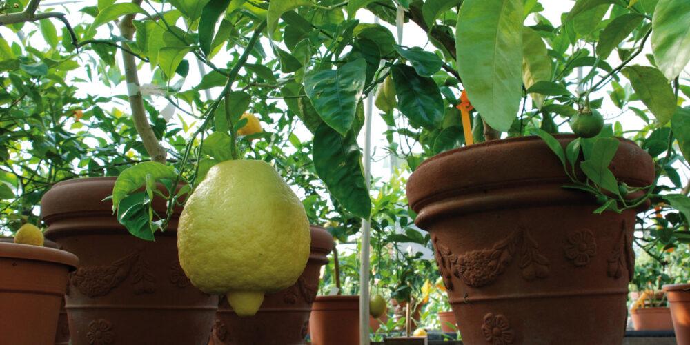Zitrusgarten Faak